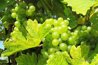 800px-Grapes_in_Pálava_region (c)Huhulenik.jpg